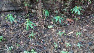 Satuwa plant